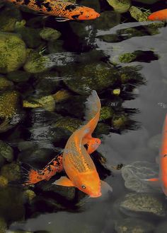 Shop for Products Designed by Independent Artists and Iconic Brands - By Joel Zimmerman - Koi Carp Fish, Fish Ponds, Betta Fish, Koi Art, Fish Art, Beautiful Fish, Animals Beautiful, Animals And Pets, Cute Animals