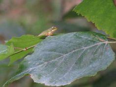 カエル. a frog on a leaf  . 16 July 2016.