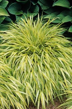 Golden Japanese Forest Grass - A graceful, colorful groundcover for shady areas. Slender stems hold bright yellow foliage with thin green stripes having the effect of a tiny bamboo. Great in containers. 2009 Perennial Plant of the Year. Deciduous.