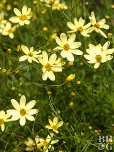 Yellow Coreopsis 'Moonbeam' flowers