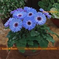 Majorette Blue Halo Gerbera Daisy Seed, 100 Seed/Pack, Early Spring Gerbera Daisy Seeds, Flower Seeds, Gerbera Daisies, Bellis Perennis, Halo, Blue Daisy, Early Spring, Garden Supplies, Potted Plants