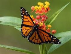 Image result for beautiful monarch butterfly pictures