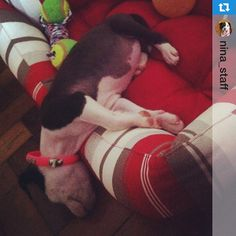 Nina #staffordshire #puppy  #cute #babydog  https://instagram.com/p/1RA_wuLYMP/?taken-by=brazucas4patas