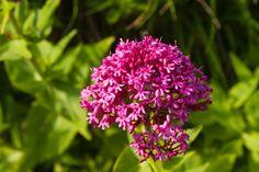 Le Centranthus ruber : la plante rustique