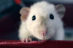 """* * RATTIE:"""" Me sure hopes yoo don'ts think weez related to drain pipe ratties. We be domesticated ands intelligent."""""""