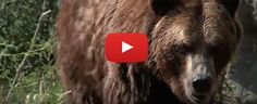 Video: The Lost California Grizzlies