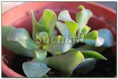 Kalanchoe usambarensis:  Suculaff: Las raras (y medicinales) Kalanchoes