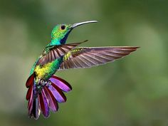 Hummingbird got their name from the humming sound created by their beating wings which flap at high frequencies audible to humans. They hover in mid-air at rapid wing flapping rates, typically around 50 times per second, but possibly as high as 200 times per second, allowing them also to fly at speeds exceeding 15 m/s (54 km/h; 34 mph), backwards or upside down.