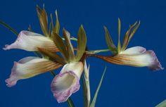 Résultats Google Recherche d'images correspondant à http://www.orchid-nord.com/g_page/Galeandra_stangeana/Galeandra-stangeana.jpg