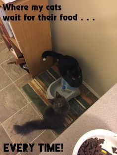 Digby (being on the water fountain brings him just that much closer) and Gulo waiting patiently for their food.   Adopt a Shelter Kitty!  Both these guys are rescues and I couldn't have asked for better cats.