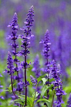 164 best purple perennials images on pinterest purple perennials salvia purple perennial flower mint family hardy common in utah mightylinksfo