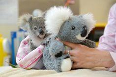 Un koala huérfano encuentra consuelo en un peluche