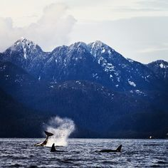 Orcas visiting Tofino - Want to do this before I die!