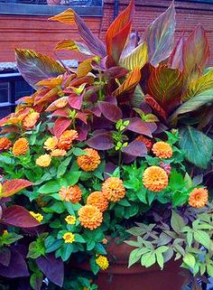 Tropicanna canna, coleus Alabama Sunset, orange zinnia, bronze sweet potato vine, creeping zinnia (sanvitalia)