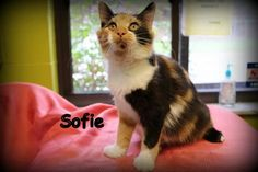 Sofie is a female domestic long hair calico beauty!  She is pretty laid back and loves everyone -- she will fit into any family easily : )  GORGEOUS!APPLICATION:  http://www.greenepet.org/adoption.htmlPlease fill out an application and fax it into...