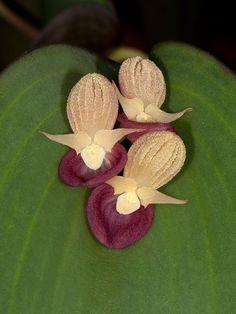 pleurothallis cyanea orchid