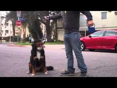 The Good Dog Minute 3/6/13: Creating an off-leash e-collar recall in 25 minutes! - YouTube