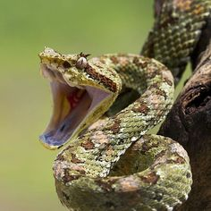 Snake about to strike