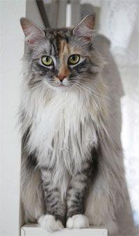 グミとマロンとショコラの猫的日常 アメリカンカール?いえ最新スタイルです。