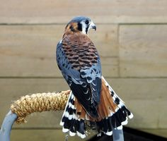 See pictures of 4 live birds of prey: the American Kestrel, Eastern Screech-Owl, Harris's Hawk, and Red-tailed Hawk Animals Images, Animals And Pets, Beautiful Birds, Animals Beautiful, American Kestrel, Hawk Bird, Rare Birds, Exotic Birds, Eagle Bird