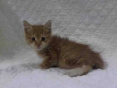 TO BE DESTROYED 6/30/14 ** BABY ALERT! ONLY 7 WEEKS OLD! Dehydrated kitten is looking for a new family. ** Manhattan Center  My name is TAMMY. My Animal ID # is A1004480. I am a male org tabby and white domestic sh mix. The shelter thinks I am about 7 WEEKS old.  I came in the shelter as a STRAY on 06/24/2014 from NY 11205