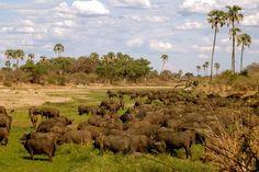 Buffels in Ruaha National Park Tanzania