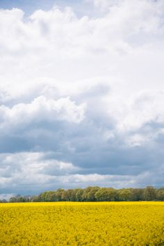 The British countryside is covered in fields of gold.