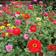 The perfect mixture for Zinnia lovers, this mixture contains four different varieties of this popular annual, from the taller varieties to dwarfs. Blooming a spectacular rainbow of colors, Zinnias are some of the easiest wildflowers to grow and bloom from early summer all the way until frost. This Zinnia mixture makes for gorgeous cut bouquets and can be planted in smaller gardens or used to seed a large meadow. Like all Zinnias, this mixture attracts pollinators to the garden. All of the…