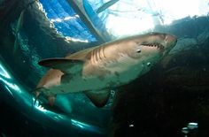 Go diving with ragged tooth sharks at the Two Oceans Aquarium in Cape Town and get your friends from around the world to watch live. Aquarium Sharks, Ocean Aquarium, Shark Diving, Volunteer Abroad, Holiday Places, Most Beautiful Cities, Cape Town, Oceans, South Africa