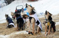 dog team of Allen Moore asking to get going at Takotna checkpoint: Iditarod 2014