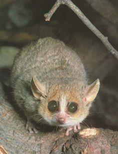 Lémur ratón (Microcebus) s. A principio del siglo XX sólo se conocían dos especies,se hallegado a conocer 20 sp en 2013.Son los primates más pequeños del mundo. De las especies descritas, la más pequeña es el lémur ratón de Berthe (M. berthae), el cual ostenta el título como primate más pequeño del mundo, con una longitud corporal sin incluir la cola de unos 10 cm y un peso de 30 g.
