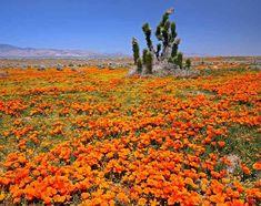 California poppies in the Mojave Desert - Pixdaus
