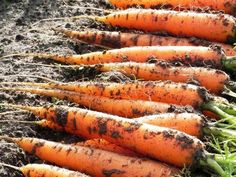 Про морковь. | Дачники