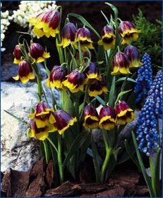 "Fritillaria michailovskyi Native to Turkey, it has up to five, pendant reddish-purple bells with a yellow edge on the outside and a shiny yellow interior. Bulb size: 5 cm/up. April/May. 8"". HZ: 4-8."