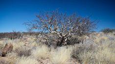 #desert tree #dry landcsape #landscape #namibia #tree