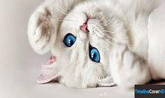 Photo chat blanc yeux bleus
