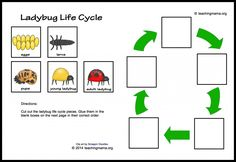 Ladybug Life Cycle Printables and sensory bin. Download free ladybug life cycle wheel. Pinned by SOS Inc. Resources http://pinterest.com/sostherapy.