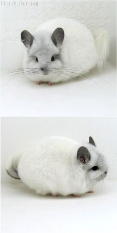Beautiful Royal Persian Angora Chinchilla! Auctioned for $2,500.  Only breeders are able to purchase this chinchilla type in the US.