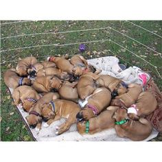Holy dogpile !! Eighteen boxer puppies...