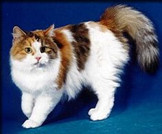 Croshka Siberian Cat Website - Reputable cat breeders of Rare Hypo Allergenic Siberian Cats - Kittens for Sale! http://www.siberiancat.net join my Facebook page Croshka Siberian Cats & Kittens