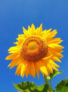 【 教秀 書写 書道 】ひまわり【 Kyoushhu japanese calligraphy 】 Sunflower