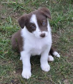 I love boarder collies, and this is one of my favorite colors of them. :3 this color and speckled.