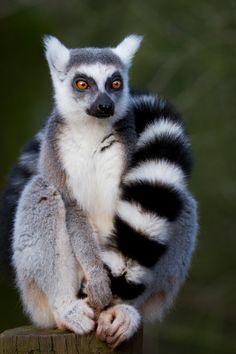 Jus' Chillin' by SkankinMike.deviantart.com on @deviantART Ring Tail Lemur