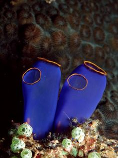The free swimming tunicate (sea squirt) larva possesses a cerebral gangleon (primitive brain). After finding a suitable surface to attach itself to and becoming stationary the rapidly maturing tunicate begins to lose what it will no longer need, digesting its notochord and even most of its own brain in the process