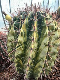 Fecoractus stainesii variegado Jardín Botánico Juan Carlos I  Universidad Alcalá de Henares  (c) Félix Loarte 2014