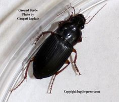 Black Beetle Care Related Keywords Suggestions