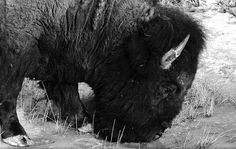 Thirsty Buffalo at Theodore Roosevelt National Park, North Dakota
