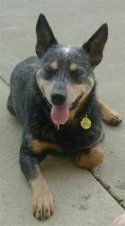 Jax, 4-5 yr. old m Australian Cattle Dog (Blue Heeler) in Kentucky. AMAZING dogs - often energetic & smart.