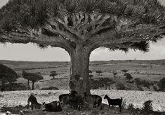 Goats in Shade Beth Moon
