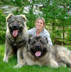 King of Dogs Caucasian Shepherd. The Caucasian Mountain Dog is a very large, muscular, powerful dog. It is assertive, strong-w. Massive Dogs, Huge Dogs, Giant Dogs, I Love Dogs, Beautiful Dogs, Animals Beautiful, Cute Animals, Simply Beautiful, Le Plus Grand Chien